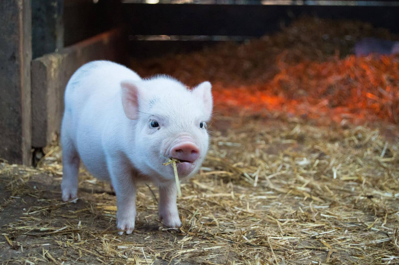 Февраля, свиньи на картинках
